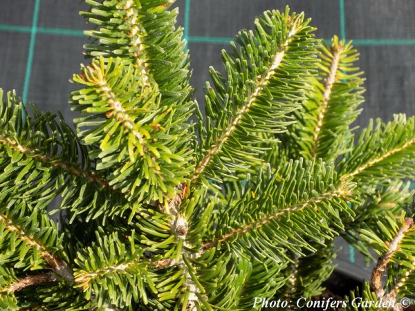 Abies alba 'Barabits Star'