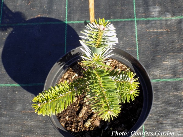 Abies veitchii 'Pendula'