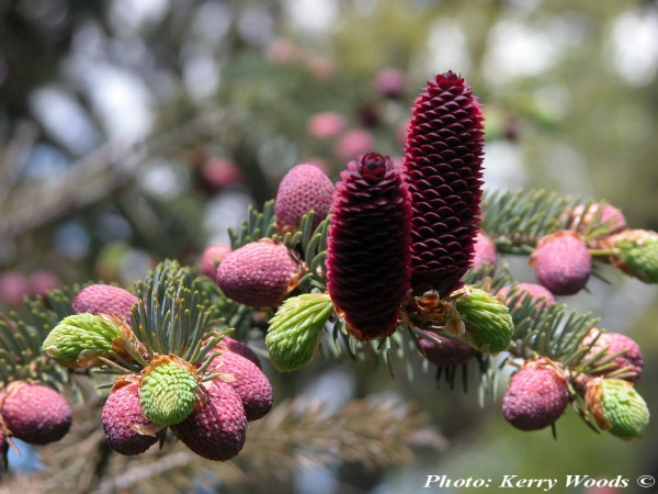 Picea likiangensis