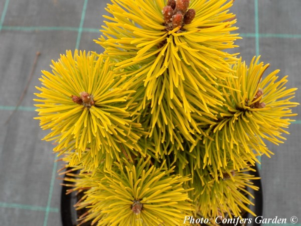 Pinus mugo 'Winter Gold'